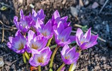 Free Bloom, Blossom, Crocus Stock Photography - 109888892