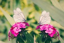 Free 2 White Butterflies On Pink Flowers Royalty Free Stock Image - 109889206
