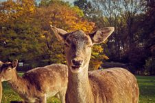 Free Portrait Of Deer On Field Stock Photography - 109889422