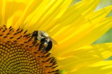 Free Close-up Of Bee On Yellow Flower Stock Photo - 109889490