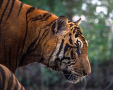 Free Close-up Of Tiger Royalty Free Stock Image - 109889556
