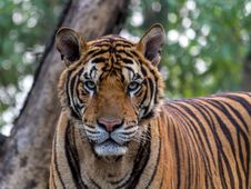 Free Close-up Portrait Of Tiger Stock Photography - 109889822