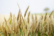 Free Agriculture, Arable, Barley Royalty Free Stock Image - 109890506