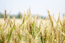 Free Agriculture, Arable, Barley Stock Photo - 109890530