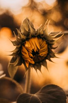 Free Close-Up Photography Of Sunflower Stock Photography - 109892222