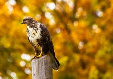 Free Close-up Of Eagle Perching On Outdoors Royalty Free Stock Photo - 109892555