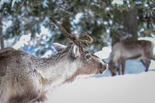 Free Animal, Photography, Antler Royalty Free Stock Photos - 109892578