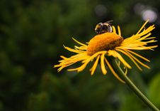 Free Close-up Of Bee On Yellow Flower Stock Photography - 109892672