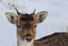 Free Portrait Of Deer On Snow Royalty Free Stock Photography - 109892697