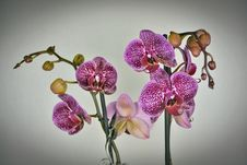 Free Close-up Of Purple Orchid Flowers Stock Photo - 109892860