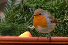Free Brown White And Orange Small Bird Perched On Wood Near Pine Tree Leaf Stock Photography - 109894582