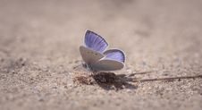 Free Purple Sulfur Moth On Ground Close-up Photography Royalty Free Stock Image - 109895696