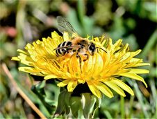 Free Animal, Beautiful, Bee Royalty Free Stock Images - 109896299