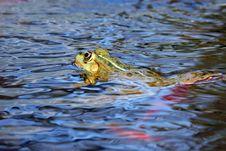 Free Amphibian, Animal, Aquatic Stock Photography - 109896342