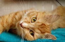Free Animal, Cat, Close-up Stock Photography - 109896742