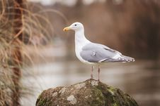 Free Sea Gull Perched On Rock Stock Photos - 109897783