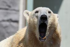 Free Animal, Bear, Bored Stock Photography - 109898442