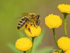 Free Animal, Bee, Bloom Stock Image - 109899071