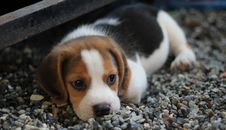 Free Animal, Beagle, Canine Stock Photos - 109899123