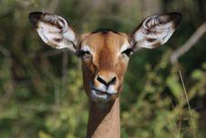 Free Animal, Antelope, Barbaric Stock Photo - 109900260
