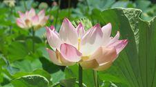 Free Aquatic, Plant, Bloom Royalty Free Stock Image - 109900516