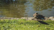 Free Animal, Duck, Feathers Royalty Free Stock Photography - 109900577