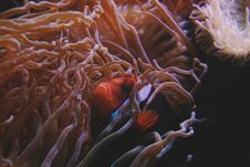 Free Anemone, Aquatic, Biology Royalty Free Stock Images - 109900599