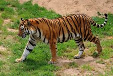 Free Amur, Tiger, Angry Stock Photo - 109901130