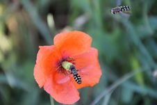Free Bees, Bloom, Blooming Stock Photos - 109901453