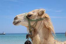Free Animal, Arabian, Camel Stock Image - 109901581