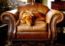 Free Canine, Chair, Cushion Royalty Free Stock Image - 109902086