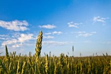 Free Grain / Field Royalty Free Stock Images - 109902719