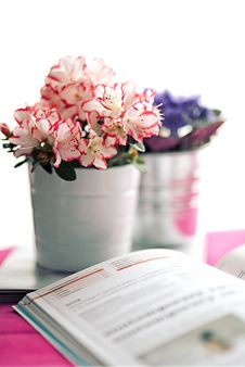 Free Azalea In A White Pot Stock Image - 109903111