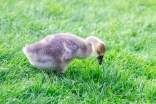 Free Agriculture, Animal, Baby Royalty Free Stock Photos - 109903508