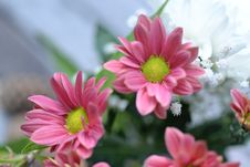 Free Close-up Photo Of Pink Gazania Flower Stock Image - 109903731