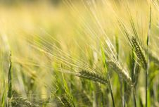 Free Agriculture, Arable, Barley Stock Photos - 109904393