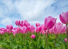 Free Bunch Of Pink Tulips Stock Image - 109904431