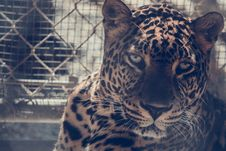 Free Brown Leopard On Chain Link Fence Royalty Free Stock Photos - 109904468