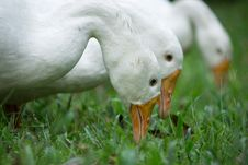 Free Three White Ducks Royalty Free Stock Image - 109905096