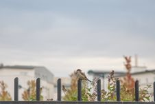 Free Brown Small Beaked Bird On Fence Stock Photography - 109905262