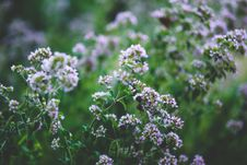 Free Blooming Oregano Stock Photography - 109905472