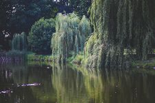 Free Willow That Grow Along The River Royalty Free Stock Photo - 109905475