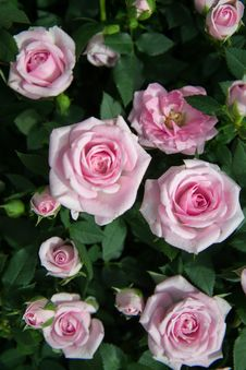 Free Close Up Photography Of Pink Roses Under Sunny Sky Stock Photo - 109906170