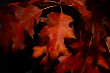 Free Close-Up Photography Of Maple Leaves Royalty Free Stock Photos - 109906188