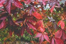 Free Red Autumn Leaves III Stock Photography - 109906492