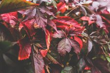 Free Red Autumn Leaves II Royalty Free Stock Photos - 109906608