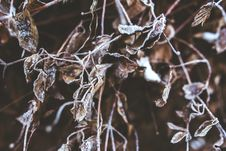 Free Frozen Branches And Withered Leaves Royalty Free Stock Images - 109906859