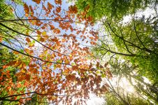 Free Low Angle Photo Of Maple Leaves Stock Photos - 109907153