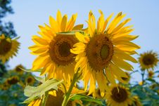 Free Sunflowers Royalty Free Stock Images - 109907229