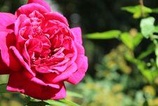 Free Shallow Focus Of Pink Rose Royalty Free Stock Photos - 109907318
